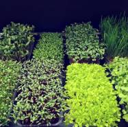 Microgreen Batumi photo